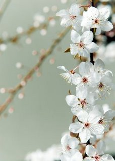 cherry blossoms, Now & Zen Inc. makers of Zen Timers