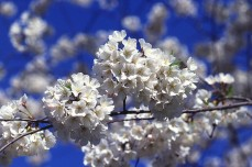 Cherry blossoms (sakura), often simply called blossoms (hana) are a common spring kigo.